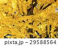 黄葉した葉で覆われたイチョウの木 29588564