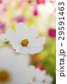 コスモス 花 植物の写真 29591463
