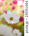 コスモス 花 植物の写真 29591464
