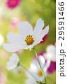 かわいいコスモス 29591466