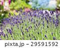 ラベンダー 花 植物の写真 29591592