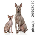 Cat and dog in front of white background 29592040