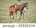 馬 サラブレッド 放牧の写真 29592244