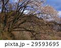 山桜 29593695