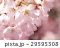 花 桜 神代曙の写真 29595308