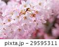 花 桜 神代曙の写真 29595311