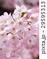 桜(ジンダイアケボノ) 29595313