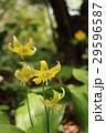 黄花カタクリ Erythronium pagoda 29596587