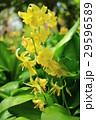 黄花カタクリ Erythronium pagoda 29596589