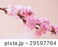 花桃 29597764