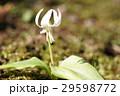 カタクリ 花 春の写真 29598772