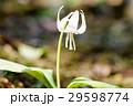 カタクリ 花 春の写真 29598774