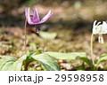 カタクリ 花 山野草の写真 29598958