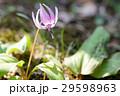 カタクリ 花 山野草の写真 29598963