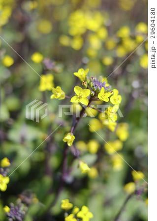 コウサイタイの花 つまみ菜 29604180