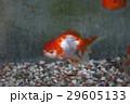 夏の風物詩金魚 29605133