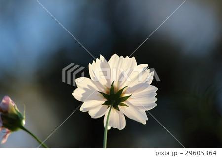 コスモス (センセーション) その63。 Cosmos flower 29605364