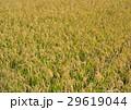 黄金色の稲穂 29619044