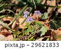 植物 花 タチツボスミレの写真 29621833