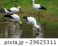 12月 冬のコウノトリの郷公園 29625311