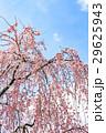 しだれ桜、枝垂れ桜、シダレザクラ 29625943