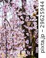 しだれ桜、枝垂れ桜、シダレザクラ 29625944