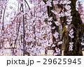 しだれ桜、枝垂れ桜、シダレザクラ 29625945