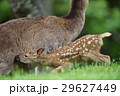 小鹿 授乳 鹿の写真 29627449