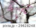 桜 29628248