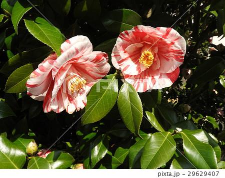 椿は「茶花の女王」の異名を持つほど冬の茶席に似合う。古来より日本を代表する花木として愛されてきた。 29629407