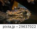 ハ虫類 捕食者 捕食の写真 29637022