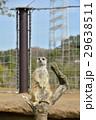ミーアキャット 動物 動物園の写真 29638511