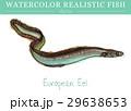 水彩画 透明水彩 サカナのイラスト 29638653
