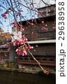 祇園白川の桜(京都市-京都府) 29638958