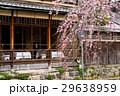 祇園白川の桜(京都市-京都府) 29638959