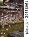祇園白川の桜(京都市-京都府) 29638961