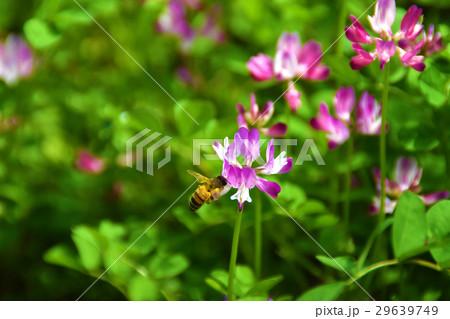 レンゲとミツバチ 29639749