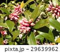 開花した花と、蕾の有るジンチョウゲ 29639962