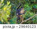 Spider monkey. Mexico 29640123