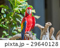 Macaw Parrot on one branch. Mexico 29640128