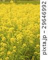 菜の花畑 29646992