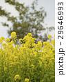 菜の花畑 29646993