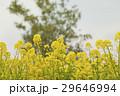 菜の花畑 29646994