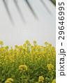 菜の花畑 29646995
