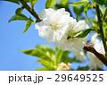 桃の花 大阪城公園にて 29649525
