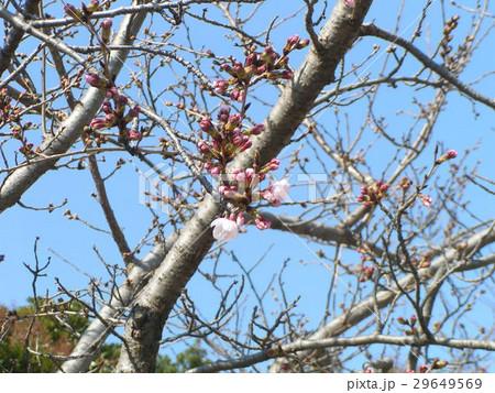 サクラ広場のサクラが咲き始めました 29649569