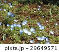 こどもの笑顔のようなネモフィラの青い花 29649571