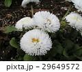 デージーの白い花が可愛いです 29649572