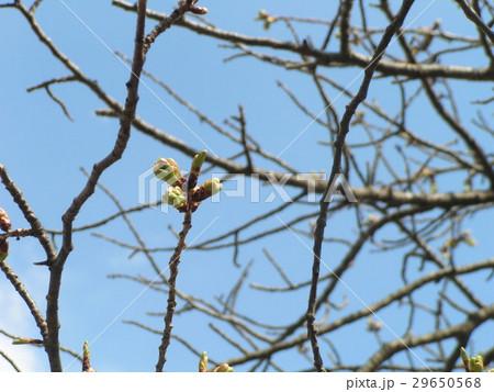 やっと桃色になって来たオオシマザクラの蕾 29650568