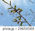 やっと桃色になって来たオオシマザクラの蕾 29650569